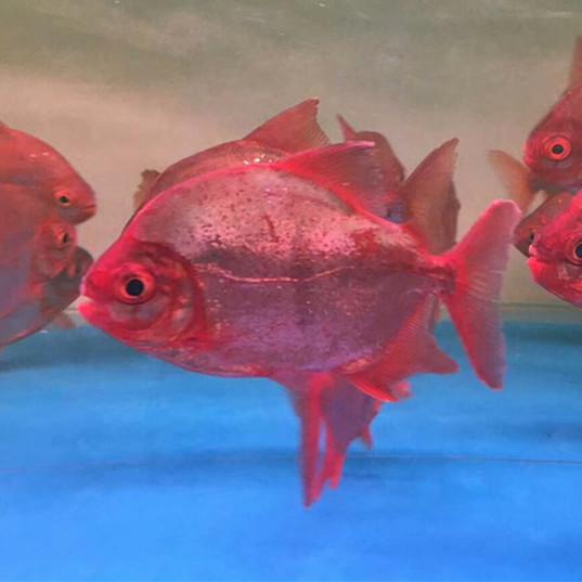 玉林玫瑰银版鱼