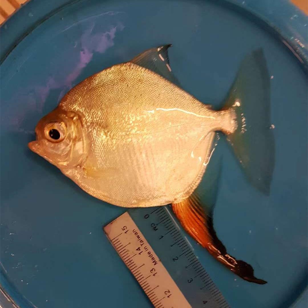 玉林红勾银版鱼