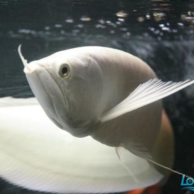 玉林雪龙鱼